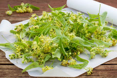 Freshly linden flowers for drying and herbal medicine royalty free stock image