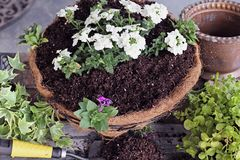 Freshly Made Hanging Flower Basket. Demonstration of how to plant a hanging basket or pot of flowers. Flowers include Verbena, Petunias, Creeping Jenny, Ivy  and Stock Photos