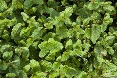 Freshly mint Royalty Free Stock Photo