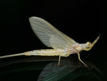 Freshly Molted Mayfly Closeup Side View