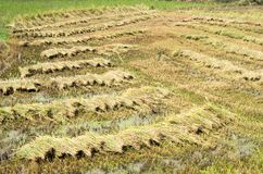 Freshly mown rice on a plantation in South Vietnam royalty free stock photo