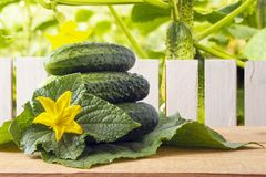 Freshly natural gherkins with yellow flowers on wooden table in garden. Dietary vegetables for vegetarian food. Wooden fence and c Stock Image