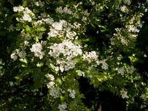 Freshly Opened Hawthorn Blossom Stock Photo