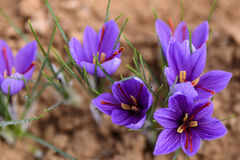 Freshly opened saffron flowers Stock Image