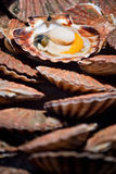 Freshly opened scallop on the pile Stock Photo
