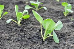 Freshly organically planted cabbage seedlings in the vegetable Royalty Free Stock Photography