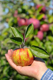 Freshly picked apple Royalty Free Stock Photo