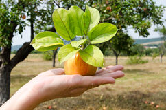 Freshly picked apple from the tree. royalty free stock photo