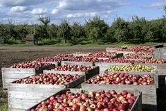 Freshly picked apples Stock Photo