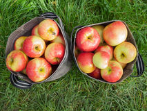 Freshly picked apples Royalty Free Stock Photography
