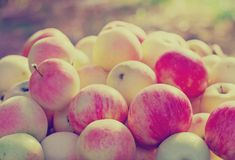 Freshly picked  apples Stock Photography