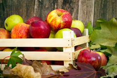 Freshly picked apples Stock Photos