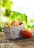 Freshly picked apples in wooden tub. Freshly picked ripe red apples in a rustic wooden tub on an old wooden garden table royalty free stock images