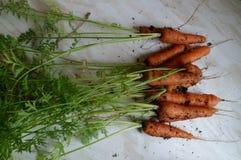 Freshly Picked Baby Carrots Stock Photos