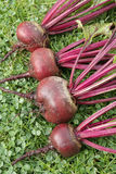 Freshly picked beetroot Stock Photography