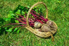 Freshly picked beetroot in a basket Royalty Free Stock Image