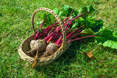 Freshly picked beetroot in a basket Royalty Free Stock Photo