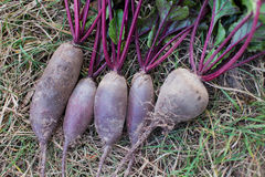 Freshly picked beetroot with green tops on the ground Stock Photo