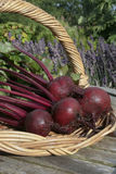Freshly picked beetroots Royalty Free Stock Photography