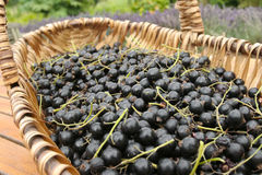Freshly picked Black currants Royalty Free Stock Image