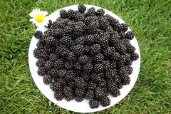 Freshly picked blackberrys. On the grass Stock Photography
