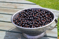 Freshly picked blackcurrants in a colander or dish. Stock Image