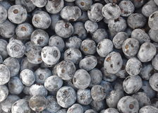 Freshly picked blueberries Stock Photography