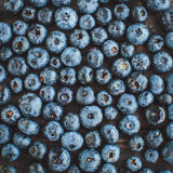 Freshly picked blueberries during harvest. For healthy lifestyle Stock Photo