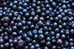 Freshly picked blueberries. A lot of freshly picked blue blueberries for background Royalty Free Stock Photo