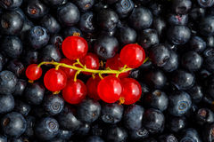 Freshly picked blueberries and redcurrant Royalty Free Stock Image