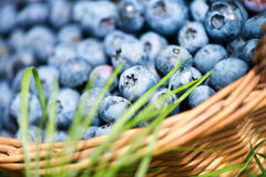 Freshly picked blueberries in rustic basket close up. Royalty Free Stock Photos