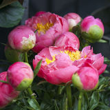 Freshly picked bouquet of peony flowers Royalty Free Stock Image