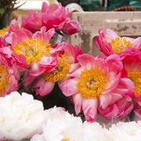 Freshly picked bouquet of peony flowers Royalty Free Stock Images