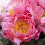 Freshly picked bouquet of peony flowers Royalty Free Stock Photo