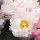 Freshly picked bouquet of peony flowers Royalty Free Stock Photography