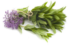 Freshly picked bunch of mint with a flower decorative bow on whi Royalty Free Stock Photo