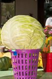 Freshly picked cabbage head on a purple basket. Front view, close up of a freshly picked cabbage head sitting on a purple, plastic basket, on display and for stock photography