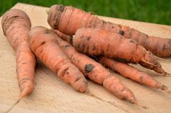 Freshly picked carrot Stock Photography