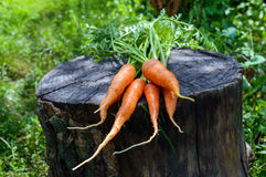 Freshly picked carrots close up on an old tree stump.  Stock Image