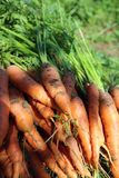 Freshly picked carrots. Royalty Free Stock Image