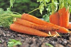 Freshly picked carrots Stock Photo
