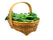 Freshly picked chard isolated. Basket full of freshly picked organic chard leaves isolated on pure white Stock Photos