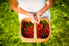 Freshly picked cherries in a basket Stock Images