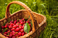 Freshly picked cherries in a basket Royalty Free Stock Image