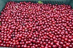Freshly picked cherries stock photo