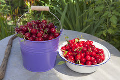 Freshly picked cherries from the garden Stock Image