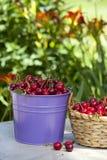 Freshly picked Cherries Royalty Free Stock Images
