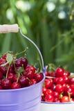 Freshly picked Cherries Stock Images
