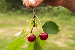 Freshly picked cherry on the brunch. A freshly picked cherry on the brunch in hands Royalty Free Stock Photo