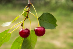 Freshly picked cherry on the brunch Royalty Free Stock Photography